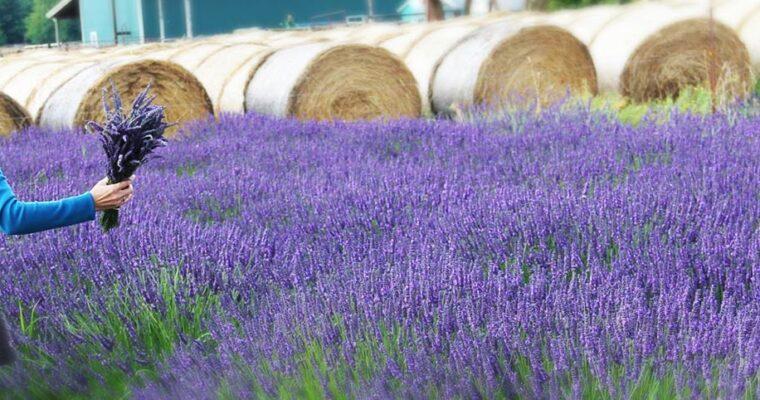 Victor's Lavender Farm