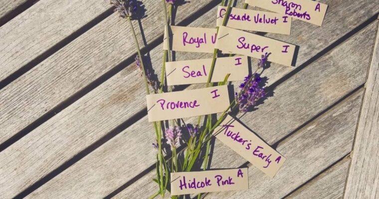 Lavender Connection